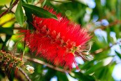 Una flor roja, Corfú Imagenes de archivo