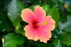 Una flor roja del hibisco Imagenes de archivo