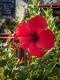 Una flor roja del hibisco imagen de archivo