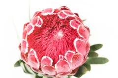 Una flor roja del protea Fotografía de archivo libre de regalías