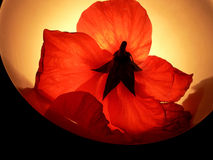 Una flor roja más ligera imagenes de archivo