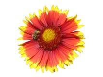 Una flor roja y anaranjada del gaillardia con la abeja Fotografía de archivo