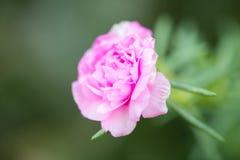 Una flor rosada Foto de archivo libre de regalías