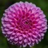 Una flor rosada de la dalia Imagenes de archivo