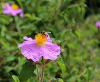 Una flor rosada del cistus con una abeja Imágenes de archivo libres de regalías