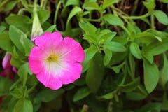 Una flor rosada del hibisco en el parque Imagen de archivo