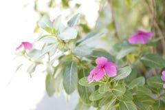 Una flor rosada en el jardín imagen de archivo