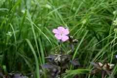Una flor rosada en la hierba imagen de archivo libre de regalías