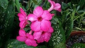 Una flor rosada hermosa Fotos de archivo