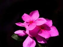 Una flor rosada hermosa en luz soleada imagen de archivo libre de regalías