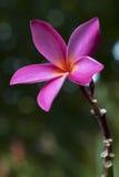 Una flor rosada fotos de archivo libres de regalías