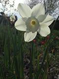 Una flor sedosa blanca Foto de archivo libre de regalías