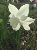 Una flor sedosa blanca Fotos de archivo