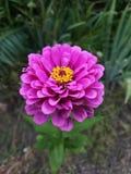 Una flor solitaria rosada fotografía de archivo libre de regalías