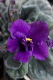 Una flor violeta fotografía de archivo libre de regalías