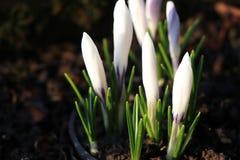Una floración cerrada hermosa del azafrán en el tiempo de mañana Fotografía de archivo