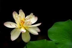 Una floración del loto contra un fondo negro con los pétalos verdes imagenes de archivo