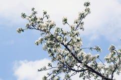 Una floración del manzano de la rama Foto de archivo
