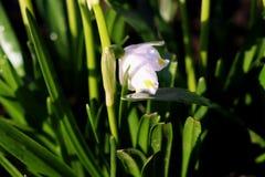 Una floración hermosa del vernum de Leucojum entre la hierba Fotografía de archivo libre de regalías