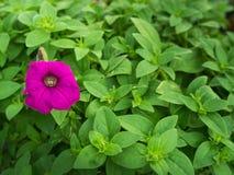 Una floración rosada de la petunia Foto de archivo