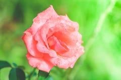 Una floración rosada de Rose fotos de archivo libres de regalías