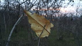 Una foglia asciutta è caduto da un albero ed è stata attaccata su un ramo Sulle goccioline della foglia di autunno della rugiada  Immagine Stock