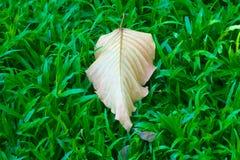 Una foglia concentrata, caduta, secca, perdendo i suoi colori e clorofilla verde, mentre in cima ad un fondo erboso verde fertile immagini stock