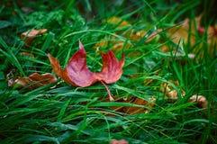 Una foglia di acero che si trova su un'erba verde Fotografia Stock