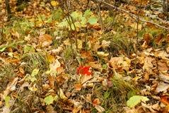 Una foglia di acero rossa sulla terra con lasciare marrone, le foglie verdi, i ramoscelli e l'erba nel parco di stato di Kathio,  fotografia stock