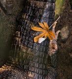 Una foglia di autunno su un coccodrillo di riposo fotografie stock