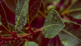 Una foglia e gocce di pioggia dell'alloro Fotografie Stock Libere da Diritti