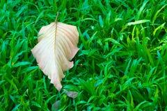 Una foglia fuori centro, caduta, secca, perdendo i suoi colori e clorofilla verde, mentre in cima ad un fondo erboso verde fertil immagini stock libere da diritti