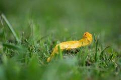 Una foglia gialla caduta nell'erba Immagini Stock Libere da Diritti