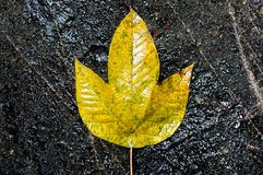 Foglia gialla su una roccia nera Fotografia Stock