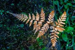 Una foglia marrone della felce che cresce su un grande albero con muschio verde fotografie stock libere da diritti