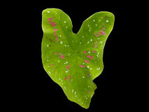 Una foglia presa da una pianta di Antherium. Immagini Stock