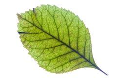 Una foglia verde con le strisce è primo piano fotografato Fotografia Stock Libera da Diritti