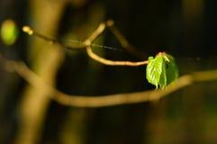 Una foglia verde su un ramo Fotografie Stock Libere da Diritti