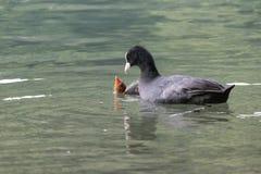 Una folaga alimenta il suo pulcino Fotografia Stock Libera da Diritti