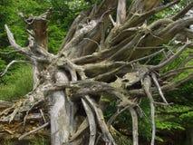 Una foresta attraverso cui la tempesta è passato Fotografia Stock