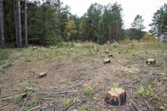 Una foresta con gli alberi tagliati. Immagine Stock Libera da Diritti