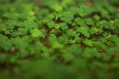 Una foresta dei 4 Foglio-Trifogli Immagine Stock