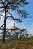 Una foresta dei pini in alta montagna, Tailandia Immagine Stock Libera da Diritti