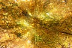 Una foresta del ginkgo nell'ambito del sole Immagine Stock