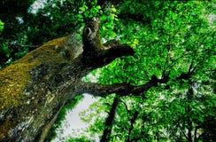Una foresta densa con la larghezza enorme degli alberi fotografia stock