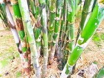 Una foresta di bambù molto fertile e verde Immagine Stock