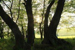 Una foresta magica ed il sole fra il permesso Fotografie Stock Libere da Diritti