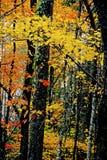 Una foresta nelle montagne fumose è viva con colore Fotografia Stock