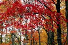 Una foresta nelle montagne fumose è viva con colore Fotografie Stock Libere da Diritti