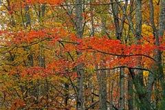 Una foresta nelle montagne fumose è viva con colore Immagini Stock